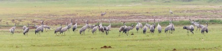 Over 200 common Cranes wre found in the fileds surrounding the lake