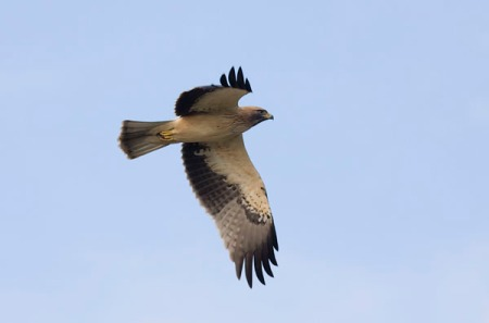 Booted Eagle -a few wintering birds at Guadalorce.